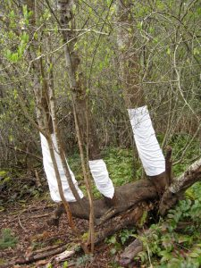 3 afternoon tea cloths protect the tree from deer eating the bark